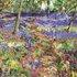 Walk Through The Bluebells by Timmy Mallett