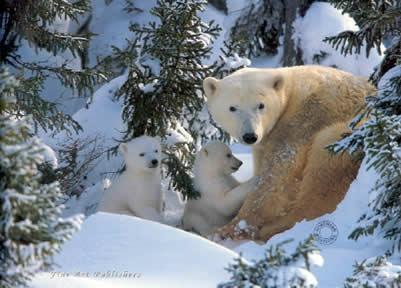 Warmth Of Nature - Polar Bear & Cubs