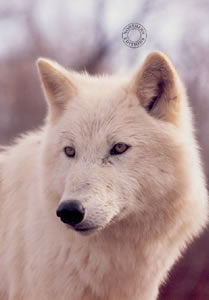 Study Of A White Wolf