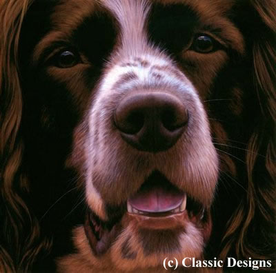 Larger Than Life - Springer Spaniel (Bc)