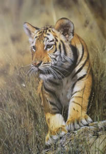 Young Pretender - Tiger Cub