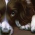 dog: Larger Than Life - Springer Spaniel II (Bc)