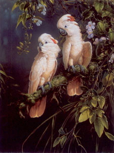 Salmon Crested Cockatoo - Parrots
