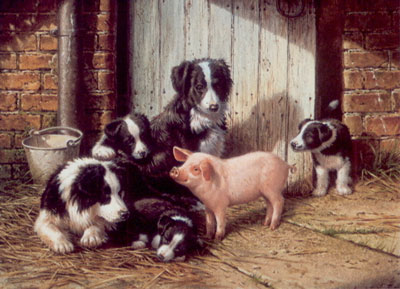 Piggy In The Middle - Border Collies & Pig