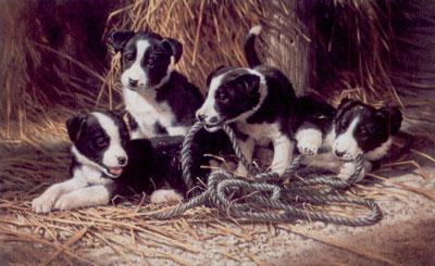 Playtime - Border Collie Puppies
