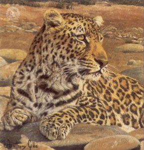 Five Faces Of India - Leopard