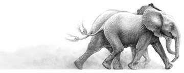Joy - Elephant