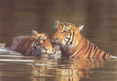 Affection - Tigers