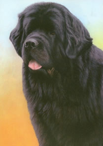 Just Dogs - Black Newfoundland