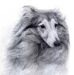 Bracken - Shetland Sheepdog