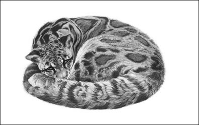 Serenity - Clouded Leopard