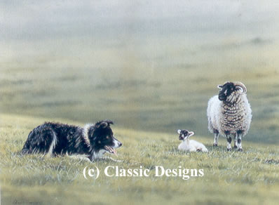 Steady Boy - Border Collie & Sheep